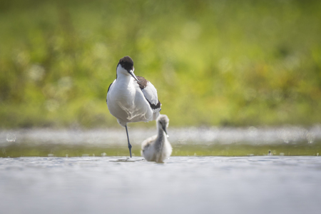 looking after: Pied Avocet parent looking after chick walking in water