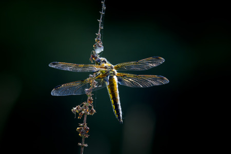 chaser: Broad-bodied chaser dragonfly hanging on a plant. The background is dark. Stock Photo