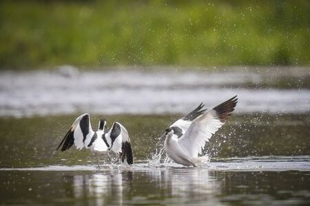 dominance: Pied avocet (Recurvirostra avosetta) show their dominance during a fight in the water. Stock Photo