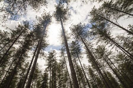 scary forest: Looking to the sky, the sun and the clouds in a dark and scary forest. Stock Photo