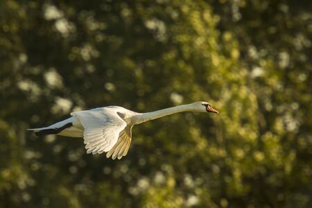olor: Mute swan (Cygnus olor) in flight on a sunny day, trees in the background.