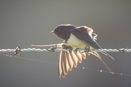 hirundo rustica: Barn Swallow (Hirundo rustica) spreads his wings and tail while resting on barb wire during a early morning sunrise. The sun just came up and shines through the swallows wings. Stock Photo