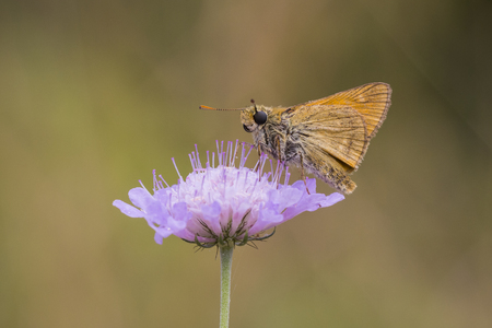 ochlodes: Large skipper butterfly eating nectar from the flower of Scabiosa columbaria, side view. Flora and fauna are well presented here. Stock Photo