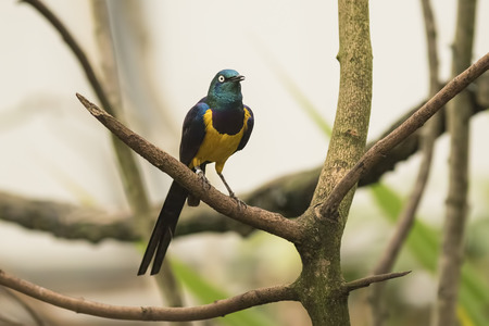 adult kenya: The golden-breasted starling (Lamprotornis regius), also known as royal starling. The golden-breasted starling is distributed in the grassland, savannah and shrubland of East Africa, from Somalia, Ethiopia, Kenya and northern Tanzania. The adult has a met