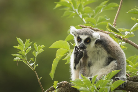 wishful: A ring-tailed lemur primate seems to be doing some wishful thinking