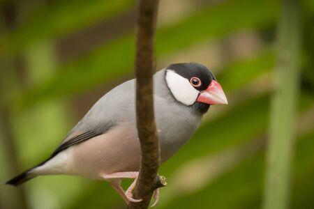 finch: Java sparrow (Lonchura oryzivora), also known as Java finch, Java rice sparrow or Java rice bird. This estrildid finch is a resident breeding bird in Java, Bali and Bawean in Indonesia.