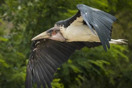 african stork: Closeup of a Marabou stork bird in flight