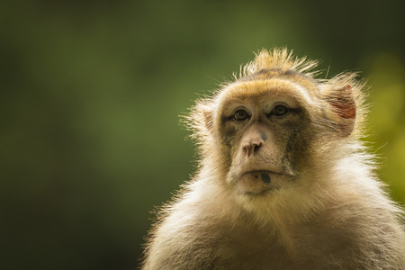sylvanus: Closeup of a Barbary macaque in sunlight