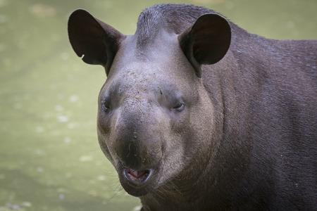 amusing: A amusing, funny Tapir smiling Stock Photo