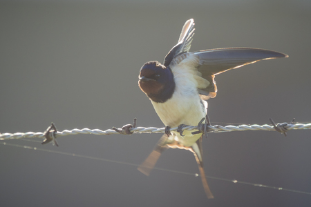 eyecontact: Barn Swallow (Hirundo rustica) spreads his wings while resting on green barb wire during a early morning sunrise facing the camera. A large group of these barn swallows foraging and hunts insects and taking their occasional rest on their turns.