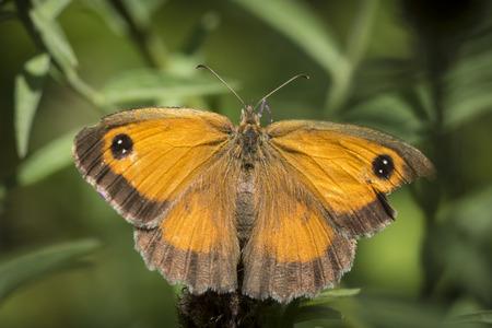 Der Gatekeeper Schmetterling, Pyronia tithonus, auf Blättern stillsteht, um die Flügelmuster zu sehen
