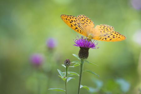 spread wings: Front view closeup of a Silver-washed fritillary with spread wings feeding on thistle flowers. The patterns on the wings are clearly visible.