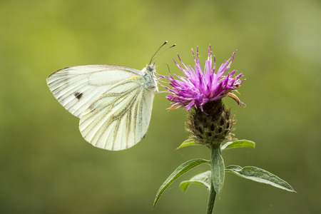 pieris: Green-veined white (Pieris napi) hangs on a thistle drinking nectar,