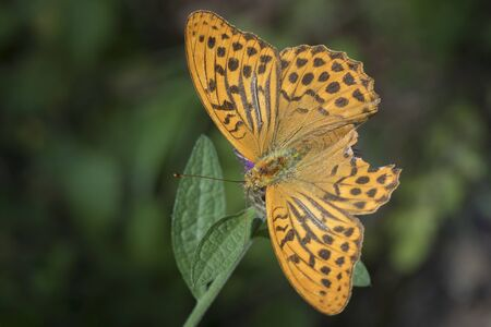 spread wings: Top view closeup of a Silver-washed fritillary with spread wings feeding on thistle flowers. The patterns on the wings are clearly visible. Stock Photo