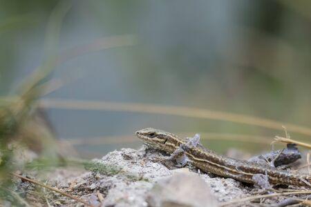 A vivparous lizard crawling through vegetation on the ground. He is shedding skin.