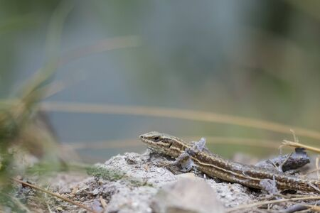 lacerta: A vivparous lizard crawling through vegetation on the ground. He is shedding skin.