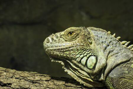 bearded dragon lizard: Closeup of a bearded dragon, Pogona vitticeps, member of the agamid lizards. Stock Photo