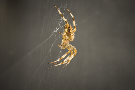 arachnoid: Cross Spider waits for a prey in the middle of a spider web Stock Photo