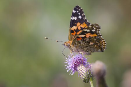vanessa: Painted Lady butterfly (vanessa cardu) feeding nectar from a thistle.
