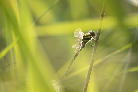 migrant: A migrant hawker dragonfly hidden deep in the green reeds. Stock Photo