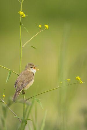 palustris: Marsh warbler (Acrocephalus palustris) bird singing in a field with yellow flowers Stock Photo