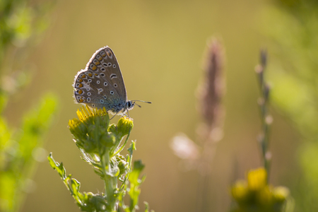 common blue: Early morning Common Blue butterfly pollinating on a yellow flower