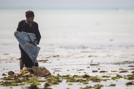 sea weed: Zanzibar, Tanzania - January 21 2015. Women harvest the sea weed for soap, cosmetics and medicin. The rising water temperature due to climate change is the reason for the seaweed mortality.