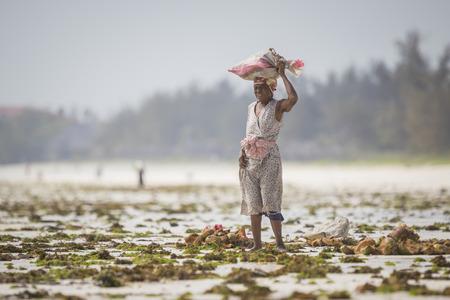algas marinas: Zanz�bar, Tanzania - 21 de enero de 2015. Las mujeres cosechan las algas para jab�n, cosm�ticos y medicin. La temperatura puede aumentar debido al cambio clim�tico es la raz�n de la mortalidad de las algas marinas.