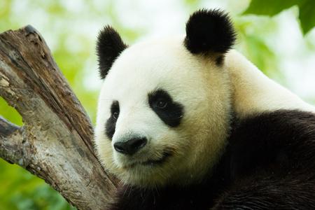 oso panda: Oso de panda gigante se queda dormido durante la lluvia en un bosque después de comer bambú