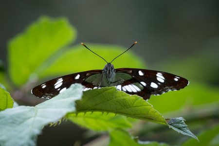 admiral: A Eurasian White Admiral (Limenitis camilla) butterfly hidden between leaves front view closeup.