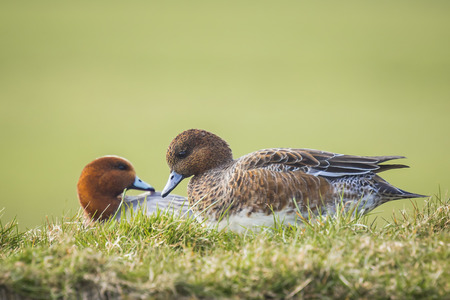 dabbling duck: A male and female Eurasian wigeon resting together in a green grassland.