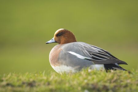dabbling: A male Eurasian wigeon resting in a green grassland. Stock Photo