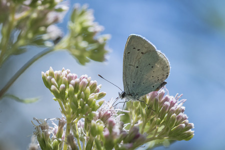 lycaenidae: A holly blue (Celastrina argiolus) butterfly feeding nectar on white flowers. The holly blue has pale silver-blue wings spotted with pale ivory dots. In Europe, the first generation feeds mainly on holly (Ilex aquifolium) but the second generation uses a
