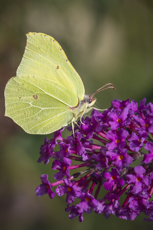 gonepteryx rhamni: A common brimstone butterfly (gonepteryx rhamni) feeding nectar from a butterfly-bush or Buddleja