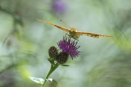 spread wings: Front view closeup of a Silver-washed fritillary with spread wings feeding on thistle flowers. The wings are level. Stock Photo