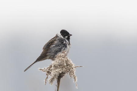 common reed: A common reed bunting Emberiza schoeniclus sings a song on a reed plume Phragmites australis. The reed beds waving due to strong winds in Spring season on a cloudy day.