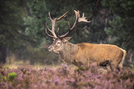 veluwe: Red deer male, cervus elaphus, rutting during mating season on a field near a forest in purple heather blooming.  National parc de Hoge Veluwe, the Netherlands Europe.