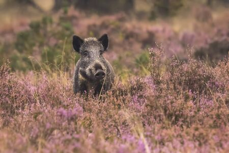 sus: A wild boar, swine or pig (Sus scrofa) foraging in a field with purple heather blooming with a forest on the background.. National park Hoge Veluwe, the Netherlands Europe.