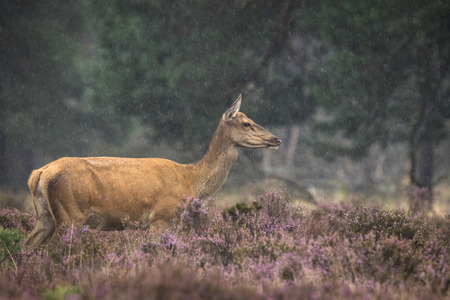elaphus: Female Red Deer (Cervus elaphus) in a meadow with purple heather in front of a forest on a rainy day.