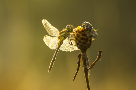 sympetrum: Side view of a common Darter, Sympetrum striolatum, with his wings spread he is drying the dew his wings in early, warm sun light Stock Photo