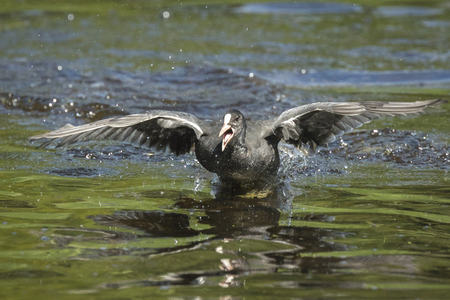 water wings: A young eurasian coot Fulica atra running on water during a fight. His wings are spread and reflection on the water is visible.