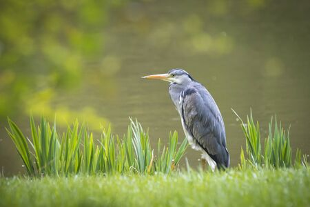 waters: Great blue heron (Ardea herodias) is patiently waiting on a prey along the waters edge. Stock Photo