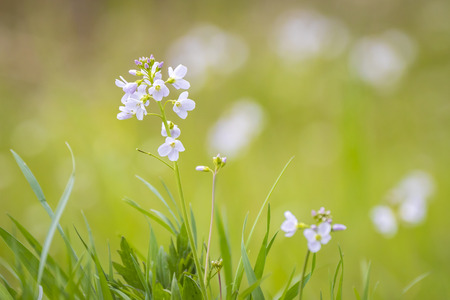 hedgerow: Cuckooflower, Cardamine pratensis, blooming in a meadow during spring. This plant is a host plant for the orange tip butterfly (Anthocharis cardamines). Stock Photo