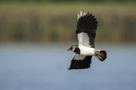 lapwing: Northern Lapwing, Vanellus vanellus, in flight on a sunny day. This lapwing is a shorebird that is part of the plover family and is a common wader.