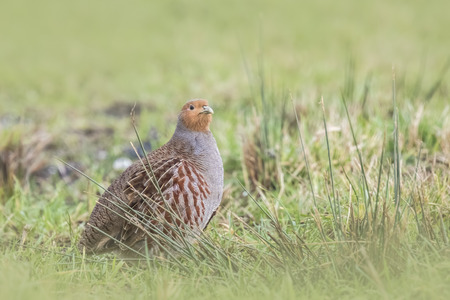 phasianidae: Closeup of a grey partridge, Perdix perdix sphagnetorum, foraging in a meadow.