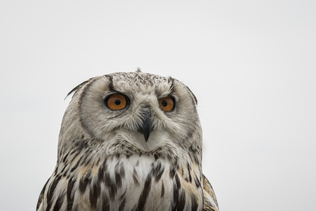 bengalensis: Close-up portrait of the head of a Bengal eagle-owl, Bubo bengalensis.