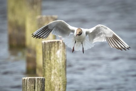 chroicocephalus: Close-up of a Black-headed gull, Chroicocephalus ridibundus, in-flight