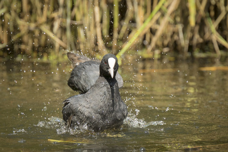 fulica: Black coot, Fulica atra, gets a refreshment by cleaning hisself on the water surface. Stock Photo