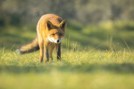 vixen: Wild young red fox (vulpes vulpes) vixen scavenging. The sun light and the colors of Autumn or Fall season on the background.