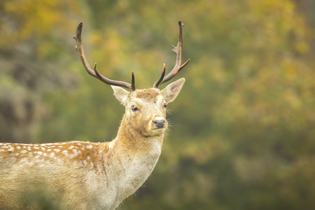 rutting: Fallow deer (Dama Dama) male during rutting season. The Autumn sunlight and nature colors are clearly visible on the background.